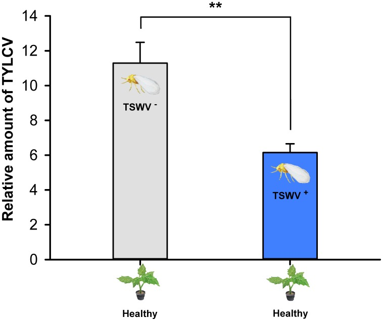 Transmission of TYLCV DNA to tomato plants by Bemisia tabaci Q females as affected by previous exposure of the whiteflies to TSWV. TSWV + or TSWV - : B. tabaci Q females that had a 72-h AAP on TSWV-infected pepper plants or on noninfected pepper plants, respectively, before they fed on tomato plants. The B. tabaci Q used for TSWV + were assumed to contain TSWV based on Table 1 . Values are means ± SE. Asterisks indicate significant differences between TSWV + vs. TSWV - treatments (one-way analysis of variance, ∗∗ P