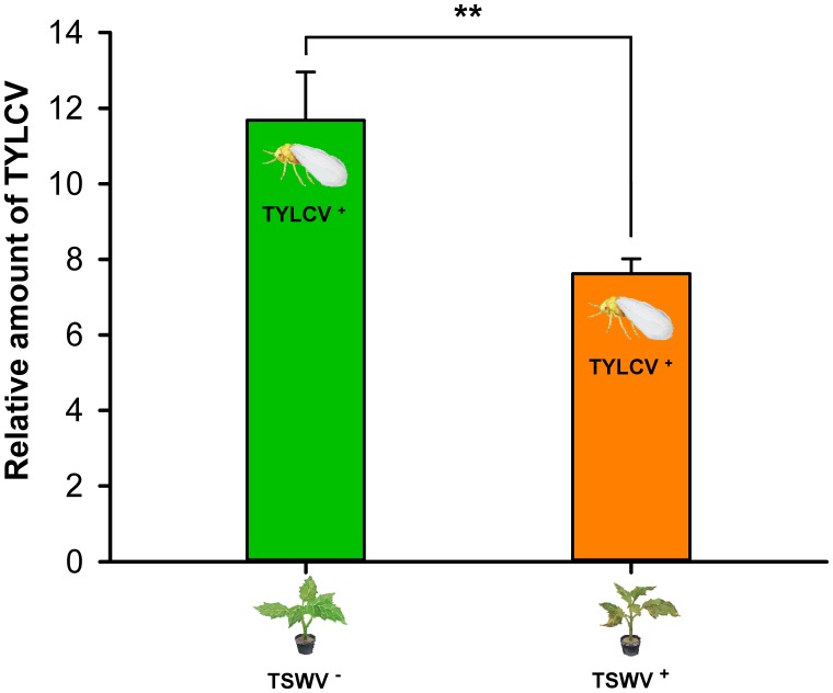 Transmission of TYLCV DNA to tomato plants by Bemisia tabaci Q females as affected by previous infection of the tomato plants by TSWV. TSWV + or TSWV - : Tomato plants inoculated with TSWV or mock-inoculated, respectively, before they were exposed to Bemisia tabaci Q females that contained TYLCV. TYLCV + : Females that acquired TYLCV from another TYLCV-infected plant. Values are means ± SE. Asterisks indicate significant differences between TSWV + vs. TSWV - treatments (one-way analysis of variance, ∗∗ P