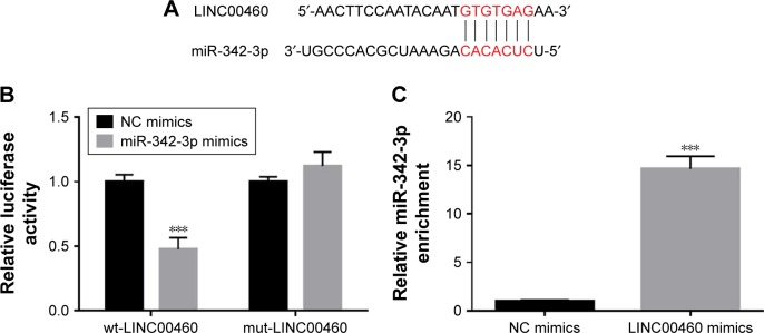 LINC00460 interacts with miR-342–3 p in GC cells. Notes: ( A ) A putative binding site of miR-342-3p in LINC00460 was predicted using the miRanda online software. ( B ) Luciferase activity was analyzed after co-transfection of miR-342-3p and wild-type LINC00460 and mutant LINC00460. ( C ) Anti-Ago2 RIP assays were performed to enrich the miRNAs interacting with LINC00460 in MGC803 cells after transfection with NC mimics or LINC00460 mimics, followed by qRT-PCR to examine the miR-342-3p levels in the immunoprecipitates. *** P