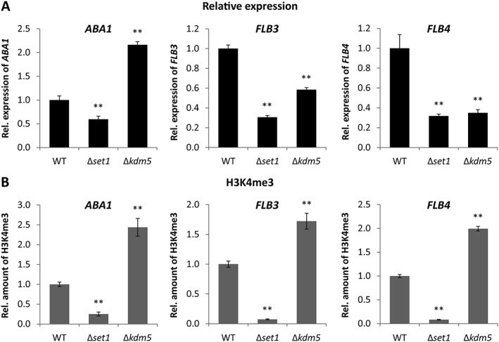 Relative expression as well as H3K4me3 levels of conidiation‐related TF genes in Δ set1 and Δ kdm5 mutants. Indicated strains were grown on V8 agar in the presence of a 12 h light/12 h dark cycle for 3 days to induce conidiation. A . RNA was extracted and the relative expression of ABA1 , FLB3 and FLB4 was determined by RT‐qPCR. B . ChIP‐qPCR was performed for the same genes using the H3K4me3 antibody. Therefore, the enriched samples (precipitated by antibody) were normalized to the respective input samples (initially applied chromatin). The WT was arbitrarily set to 1, and the data are mean values ± SD ( n = 4). For statistical analysis, the mutants were compared with the WT using the student's t ‐test: *, p