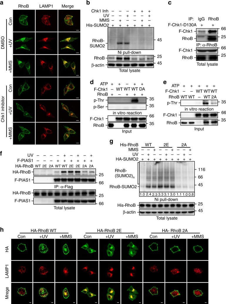 Chk1 phosphorylates RhoB to promote its sumoylation and translocation to lysosomes. a Chk1 activity is required for translocation of RhoB to lysosomes. HeLa cells pretreated 0.5 h with or without Chk1 inhibitor (0.2 μM) were subjected to immunofluorescence assay 2 h after UV (80 Jm −2 ) or 4 h after MMS (0.5 mM) treatment to examine the localization of endogenous RhoB and LAMP1. Scale bar, 10 μm. b Chk1 activity is essential for UV or MMS-induced sumoylation of endogenous RhoB. HeLa cells with expression of His-SUMO2 were treated as in panel a and then subjected to sumoylation assay. SUMO2 conjugation of RhoB was detected by immunoblotting with RhoB antibody. c Chk1 interacts with endogenous RhoB. HeLa cells transduced with Flag-tagged Chk1-D130A mutant (F-Chk1-D130A) were subjected to anti-RhoB IP followed by immunoblotting with anti-Chk1 to detect associated F-Chk1-D130A. d Chk1 phosphorylates RhoB at its threonine residues. In vitro kinase assay was carried out as described in Methods . Phosphorylated RhoB was detected by immunoblotting using phospho-threonine or phospho-serine antibodies. e Chk1 phosphorylates RhoB at Thr173 and Thr175. RhoB WT or T173,175A mutant (2A) purified from bacteria were used to perform in vitro kinase assay. f Phosphorylation of RhoB by Chk1 promotes its binding to PIAS1. HEK293T cells with expression of indicated combination of Flag-tagged PIAS1 (F-PIAS1) and HA-tagged wild-type (WT), T173,175E (2E), or T173,175 A (2A) RhoB were subjected to coimmunoprecipitation assay 1 h after treated with or without UV (80 Jm −2 ) to detect associated RhoB. g Phosphorylation of RhoB by Chk1 is required for UV or MMS-induced sumoylation. HEK293T cells with expression of indicated combination of HA-tagged SUMO2 (HA-SUMO2) and His-tagged RhoB (WT, 2E, or 2A) were subjected to sumoylation assay 1 h after treated with UV (80 Jm −2 ) or 2 h after treated with MMS (0.5 mM) to detect the SUMO2 conjugation of RhoB. h Chk1-mediated phosphorylation is essenti