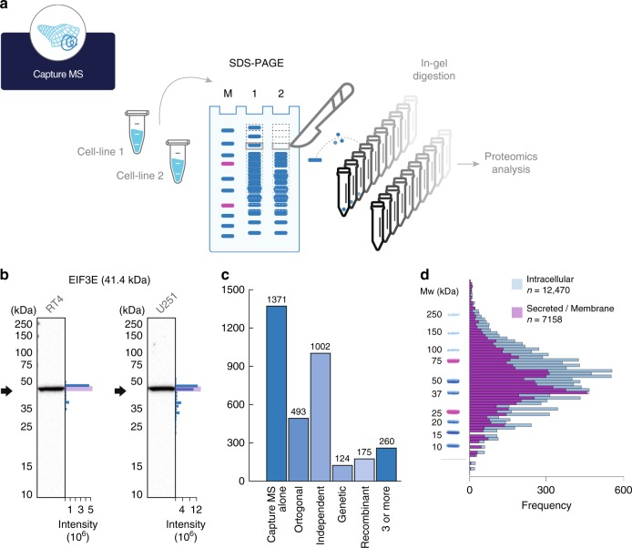 Validation of antibodies using capture MS. a Principle for validation of antibodies based on separation by SDS-PAGE and comparing the protein migration profile determined by an antibody (Western blot) and peptide identification performed by proteomics (capture MS). b Examples of orthogonal validation of two antibodies by capture MS in two different cell lines (RT4, U-251). The black arrow indicates theoretical molecular weight, and the blue bars represent number of peptides identified in each gel slice. c Summary of capture MS validation of antibodies ( n = 2,888) showing if they were validated using other antibody validation pillars. d Distribution of theoretical molecular weights for the largest transcript of all ( n = 19,628) human protein-coding genes divided into intracellular (blue) and secreted and membrane bound proteins (purple). Molecular weights are represented by the log 2 value together with a molecular weight ladder from a typical Western blot assay used within the Human Protein Atlas program