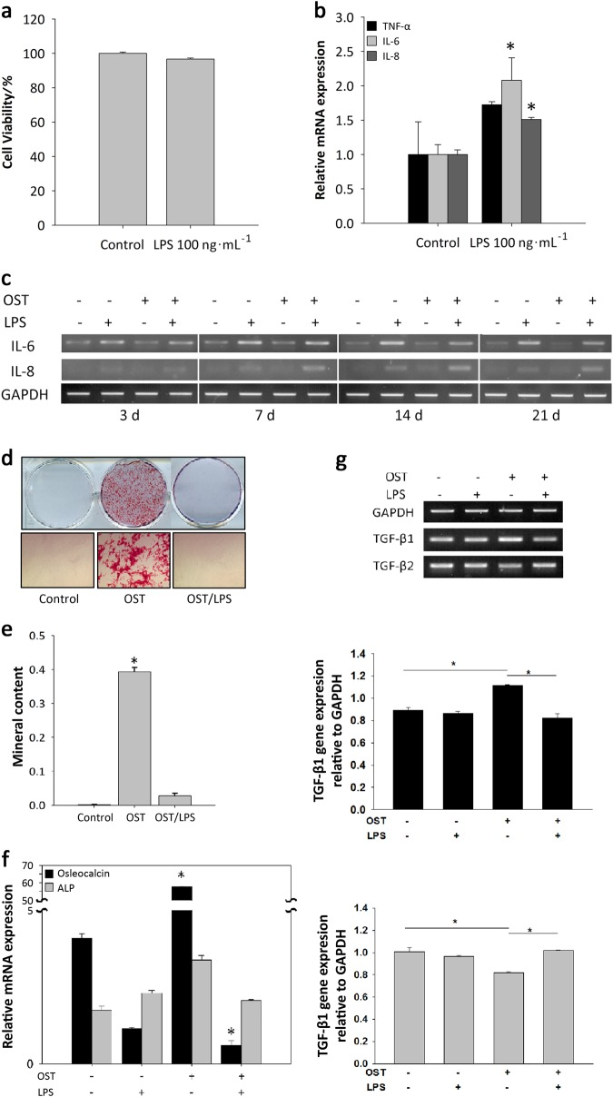 Downregulation of the osteogenic differentiation of DFSCs after exposure to P.g.- derived LPS. a MTT assays were performed to determine cell viability after LPS treatment. LPS at 100 ng · mL −1 had no effect on cell viability. b Real-time PCR showed that the pro-inflammatory cytokines IL-6 and IL-8 were secreted after treatment of cells with 100 ng · mL −1 LPS treatment in conditional medium. c IL-6 and IL-8 were also expressed during the osteogenic differentiation of cells treated with 100 ng · mL −1 LPS. d , e Calcium deposition during osteogenesis was inhibited by 100 ng · mL −1 LPS treatment. The dissolved mineral content of the medium was decreased approximately 4.5-fold compared to the control without LPS treatment. f Osteocalcin gene expression was significantly inhibited. g Comparisons of TGF-β1 and TGF-β2 gene expression by RT-PCR were performed after differentiating osteogenic tissue in the presence of 100 ng · mL −1 LPS for 2 weeks. During osteogenesis, TGF-β1 expression increased significantly, whereas TGF-β2 showed decreased expression. During LPS treatment, TGF-β1 and TGF-β2 expression changed in an inverse manner. LPS triggered higher TGF-β2 expression during osteogenesis. The data are presented as the mean ± SD. * P