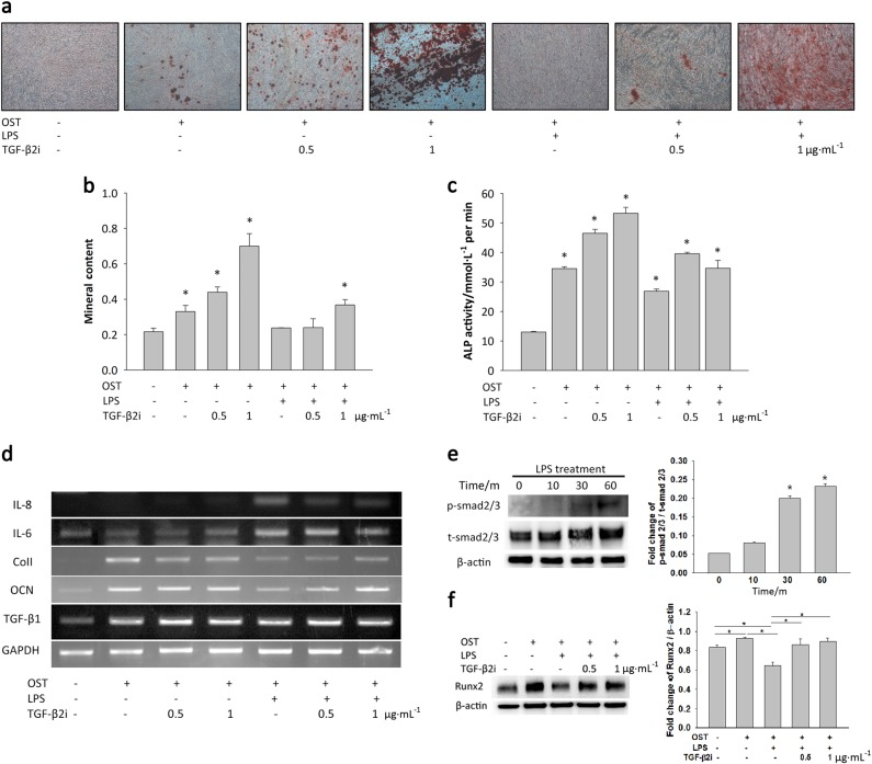 Inhibition of TGF-β2 overcomes the downregulation of bone formation caused by LPS. a , b On day 28, alizarin red S solution was used to stain calcium deposits in cultures treated with TGF-β2 inhibitor and LPS. The dissolved mineral content of the medium decreased after LPS treatment. However, treatment with 1 μg · mL −1 TGF-β2 inhibitor neutralised the TGF-β2 secreted by LPS treatment. Interestingly, inhibition of TGF-β2 increased the osteogenic differentiation of DFSCs. c The results of ALPase activity measurements also supported the conclusion that inhibition of TGF-β2 increased the early stage of osteogenesis in DFSCs. d When the TGF-β2 secreted during LPS-induced inflammation was neutralised, the levels of the pro-inflammatory cytokines IL-6 and IL-8 decreased. In contrast, osteocalcin (OCN) and type 1 collagen (Col1) expression increased after treatment of the cells with TGF-β2 inhibitor during LPS-induced inflammation. e Treatment with 100 ng · mL −1 LPS for 30 min activated smad2/3 signalling. f DFSCs activated with LPS for 30 min were treated with 0.5 μg · mL −1 TGF-β2 inhibitor for 7 days during osteogenic differentiation. In the presence of a TGF-β2 inhibitor, Runx2 expression was overcome. The data are presented as the mean ± SD. * P