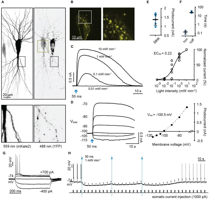 Characterization of a light-gated potassium channel in hippocampal neurons. (A) Maximum intensity projection of confocal images of hippocampal neurons 3 days after electroporation with <t>DNA</t> encoding <t>SthK-bP</t> and mKate2 (left: excitation 559 nm; right: excitation 488 nm). Lower images are close up of the regions indicated by dark boxes. (B) Single plane of the YFP signal of the region indicated in (A) (dark yellow box). (C) Left: Sample photocurrents evoked by a 50 ms light pulse (470 nm) of different intensity in a hippocampal neuron expressing mKate2 and SthK-bP. The holding potential was −70 mV. Right: Light intensity-response relationship fitted with a quadratic equation. Photocurrents are normalized to the maximum current recorded in each neuron. n = 5. (D) Left: Sample traces of photocurrents recorded from a SthK-bP expressing neuron when stimulated with 0.1 mW/mm 2 , 470 nm light (50 ms) while holding the cell at membrane potentials from −70 mV down to −115 mV. Baselines are aligned. Right: Current-voltage plot. A non-linear fit was applied to determine the K + equilibrium potential (−100.5 mV). (E) Photocurrent amplitude recorded from neurons expressing mKate2 and SthK-bP when stimulated with 1 mW mm −2 470 nm light. Shown are individual data points, median and 25–75% interquartile range, n = 5; median peak current SthK-bP 1.37 nA. (F) Kinetics of SthK-bP; data obtained from traces when the stimulation intensity was 1 mW mm −2 (470 nm, 50 ms); n = 5. (G) Whole-cell responses to current injections from −400 to 700 pA in SthK-bP expressing hippocampal neuron. (H) Action potentials generated by repeated somatic current injection (1,000 pA, 600 ms, ISI 5 s) were blocked for 3 min by 3 470 nm light flashes at 40 second intervals (50 ms at 1 mW mm −2 ); same neuron as in (G) .