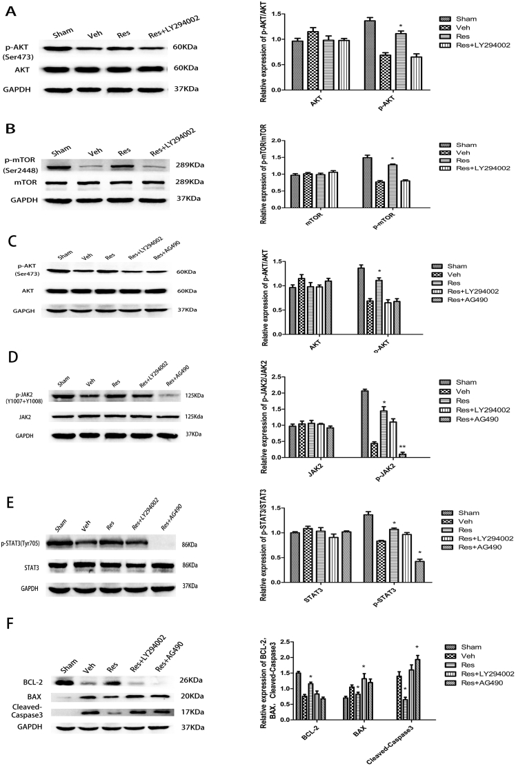 Effects of resveratrol on protein expression of JAK2, STAT3, AKT, mTOR, p-JAK2, p-STAT3, p-AKT, p-mTOR, BCL-2, BAX, and cleaved caspase-3 at 24 h after reperfusion. (A) The protein expression of p-AKT was increased 1.66-fold in the resveratrol group compared to the vehicle group, which was partially reversed by LY294002 (PI3K inhibitor). (B) The protein expression of p-mTOR was increased 1.66-fold in the resveratrol group compared to the vehicle group, which was also partially reversed by LY294002. (C) JAK2 inhibitor AG490 significantly decreased the protein expression of p-AKT compared with the resveratrol group. (D) The effect of PI3K inhibitor LY294002 on p-JAK2 after resveratrol treatment was not significant. (E) JAK2 inhibitor AG490 significantly decreased the protein expression of p-STAT3 compared with the resveratrol group. (F) Western blot indicated significantly higher BLC-2 and lower BAX and cleaved caspase-3 in the resveratrol group than in the vehicle group. These effects were partially reversed by LY294002 and AG490. Data are presented as mean ± SEM . (* P