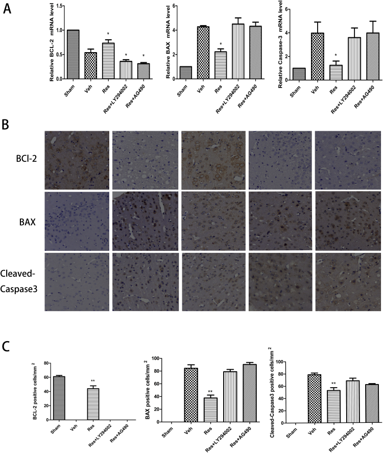 Effects of resveratrol on mRNA and protein expression of BCL-2, BAX, and cleaved caspase-3 after 24 h of cerebral I/R. (A) RT-qPCR analysis showed significantly higher BLC-2 and lower BAX and cleaved caspase-3 in the resveratrol group than in the vehicle group. These effects were partially reversed by LY294002 and AG490. (B) Typical immunohistochemical photographs of BCL-2, BAX, and caspase-3. (C) Immunohistochemical staining showed more BLC-2-positive and fewer BAX- and cleaved caspase-3-positive cells in the resveratrol group compared to the vehicle group. These effects were partially reversed by LY294002 and AG490. Data are presented as the mean ± SEM . (* P