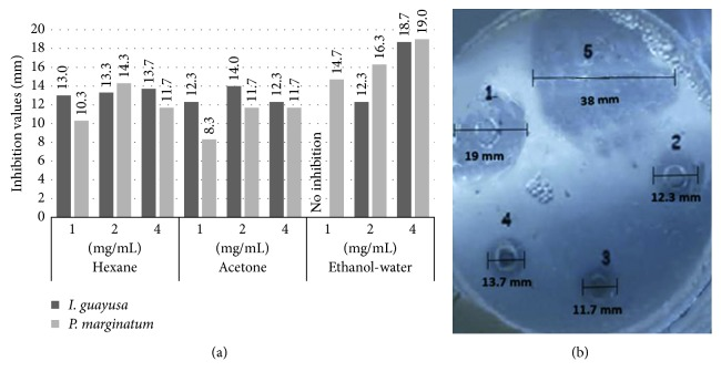 I. guayusa Loes and P. marginatum Jacq fraction antimicrobial activity against P. gingivalis ATCC 33277 at three concentrations. (a) Antimicrobial activities (inhibitory halos mm) from I. guayusa Loes and P. marginatum Jacq fractions against P. gingivalis. (b) 1: P. marginatum Jacq 4 mg/mL ethanol : water fraction, 19.0 mm inhibitory halo; 2: I. guayusa Loes 4 mg/mL acetone fraction, 12.3 mm inhibitory halo; 3: P. marginatum Jacq 4 mg/mL acetone fraction, 11.7 mm inhibitory halo; 4: I. guayusa Loes 4 mg/mL hexane fraction, 13.7 mm inhibitory halo; 5: 100 µ g/mL ampicillin positive control, 38.0 mm inhibitory halo.
