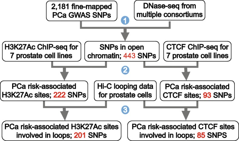 Experimental and analytical steps used to identify PCa risk-associated regulatory elements involved in chromatin loops. Step (1): The subset of 2,181 fine-mapped PCa-associated SNPs that overlap a DNase hypersensitive site was identified. Step (2): H3K27Ac and CTCF ChIP-seq was performed in duplicate in two normal (PrEC and RWPE-1) and five cancer (RWPE-2, 22Rv1, C4-2B, LNCaP, and VCaP) prostate cell lines; data was collected plus or minus DHT for 22Rv1 and LNCaP cells, for a total of 18 datasets for each mark (36 ChIP-seq samples). The SNPs in open chromatin sites (i.e., those that are contained within a DHS site) were then subdivided into those that overlap a H3K27Ac or a CTCF site in prostate cells; the number of PCa-associated SNPs associated with the H3K27Ac or CTCF sites is shown. Step (3): The PCa risk-associated H3K27Ac and CTCF sites were overlapped with Hi-C looping data, and the subset of each type of site involved in chromatin loops was identified; the number of PCa-associated SNPs associated with the H3K27Ac or CTCF sites involved in looping is shown