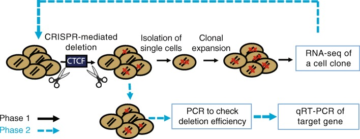 """Experimental workflow for functional investigation of PCa risk-associated CTCF sites. Phase 1: Plasmids encoding guide RNAs that target sequences on each side of a PCa risk-associated CTCF site were introduced into the PCa cell line 22Rv1 along with a Cas9 expression vector (see the """" Methods """" section for details). The resultant cell pool was analyzed to determine deletion efficiency (red slashes represent alleles in each cell that harbor a CTCF site deletion). Single cells were then selected and expanded into clonal populations for RNA-seq analysis. Phase 2: After identifying the gene most responsive (within a ± 1-Mb window) to deletion of the region encompassing a risk-associated CTCF site, plasmids encoding guide RNAs that target the risk-associated CTCF anchor region and/or the regions encompassing the CTCF sites looped to the risk CTCF site and a Cas9 expression plasmid were introduced into 22Rv1 cells; cell pools were analyzed by PCR to check deletion frequency and by RT-qPCR to measure expression of the target gene"""