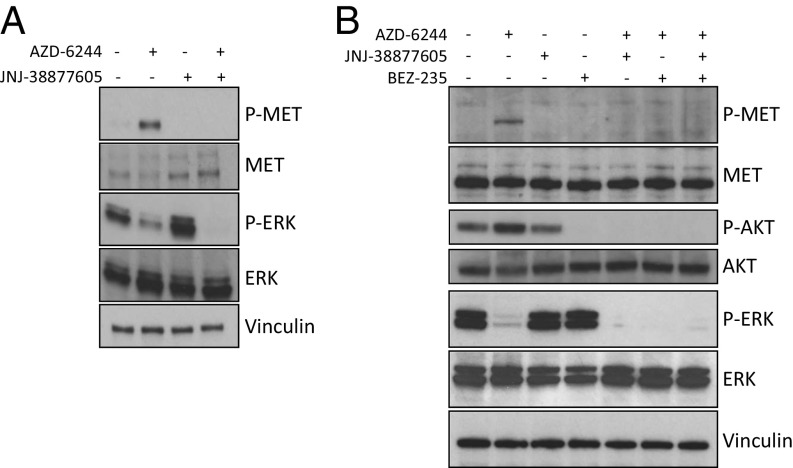 MET and BRAF inhibition. Immunoblotting analysis of phosphoproteins from L1.13 cells treated with MET and/or MEK inhibitors and/or PI3K-mTOR inhibitor. ( A ) Treatment with AZD-6244 (500 nM) and JNJ-33877605 (250 nM) alone or in combination for 30 min. AZD-6244 treatment is followed by MET phosphorylation. ERK is fully dephosphorylated on concomitant treatment with MET and MEK inhibitors. The increase of ERK phosphorylation after treatment with JNJ-38877605 is unexpected and possibly related to the adverse effect of the drug. ( B ) Treatment with AZD-6244 (500 nM), JNJ-33877605 (250 nM) and BEZ-235 (250 nM) alone or in combination for 30 min. AZD-6244 treatment induces MET phosphorylation. AKT activity increases when MEK is inhibited. ERK is fully dephosphorylated when the cells are treated with MEK inhibitor in combination with PI3K-mTOR inhibitor or MET inhibitor.