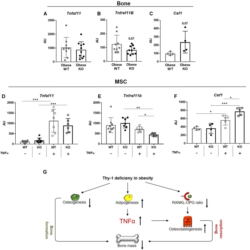 Lack of Thy-1 in obese mice alters the gene expression of RANKL, OPG, and CSF1 under inflammatory conditions. Wildtype (WT) and Thy-1 −/− (KO) mice were fed with a high fat diet for a time period of 18 weeks (HFD). (A) Gene expression of receptor activator of NF-κB ligand (RANKL, Tnfsf11 ), (B) its decoy receptor osteoprotegerin (OPG, Tnfrsf11b ), and (C) receptor of Csf1 (Cfs1r) was analyzed in bone. MSCs from WT and KO mice were treated with TNFα for 24 h to mimic an inflammatory environment and gene expression of Tnfsf11 , Tnfrsf11b , and Cfs1 was determined (D–F) . (G) Summary figure of the key findings. In mice, Thy-1 deficiency results in a reduced osteoclastogenesis and increased adipogenesis leading to a decreased bone formation. Adipocytes produce more of the pro-inflammatory cytokine TNFα and the RANKL-OPG ratio is reduced resulting in an elevated osteoclastogenesis and poor bone mass. Each point represents one mouse and median ± SD is presented. Asterisks denote significance level of ∗ P