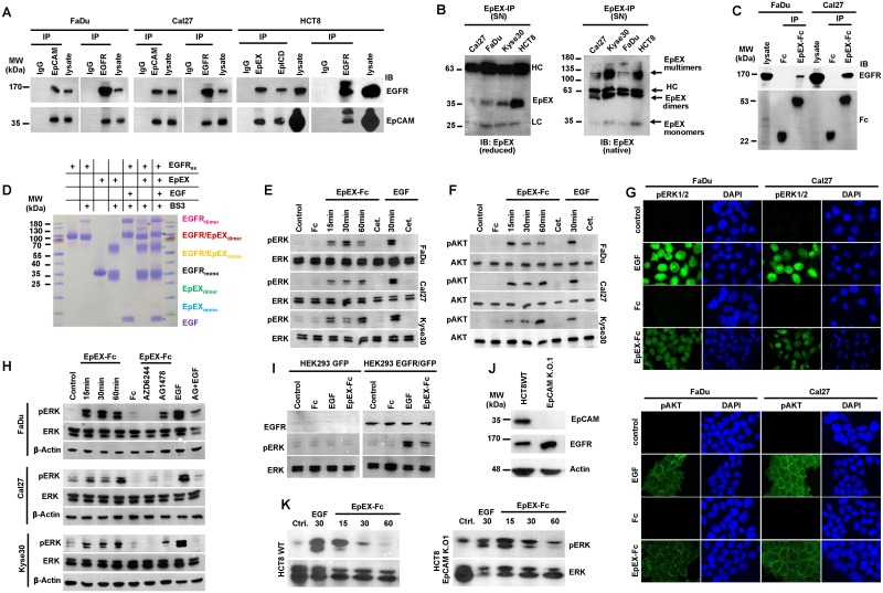 """Soluble EpEX-Fc binds to EGFR and induces ERK1/2 and AKT. (A) Bidirectional co-immunoprecipitation (""""IP"""") of EGFR and EpCAM in whole-cell lysates of FaDu, Cal27, and HCT8 cells using EGFR- and EpCAM-specific antibodies. Isotype control antibody (""""IgG"""") served as control. Coimmunoprecipitated EGFR and EpCAM were visualized in immunoblotting with specific antibodies (""""IB""""), with whole-cell lysates as control (""""lysate""""). Shown are representative results from n = 3 independent experiments. (B) SNs of Cal27, Kyse30, FaDu, and HCT8 cells were immunoprecipitated with EpEX-specific antibodies and separated under reducing (left) and nonreducing native conditions (right), and EpEX was detected with specific antibodies. Antibody HCs and EpEX mono-, di-, and oligomers are indicated. Shown are representative results from n = 3 independent experiments. (C) EpEX-Fc or Fc were incubated with whole-cell lysates of FaDu and Cal27 and immobilized on protein A agarose beads, and protein complexes were separated on SDS-PAGE. Immunoprecipitated proteins were detected by immunoblotting (""""IB"""") with Fc- and EGFR-specific antibodies. Shown are representative results from n = 3 independent experiments. (D) EGFR ex and EpEX were incubated in the presence or absence of cross-linker (BS3). Where indicated, EGF was added. Monomers, dimers, and EGFR ex /EpEX complexes are marked. Shown are representative results from n = 3 independent experiments. (E, F) FaDu, Cal27, and Kyse30 cells were kept untreated (control) or were treated with EpEX-Fc, Fc (10 nM), or EGF (1.8 nM) for the indicated time points. Where indicated, cells were additionally treated with Cetuximab (""""Cet.""""). Phosphorylation of ERK1/2 (E) and AKT (F) was assessed by immunoblotting with specific antibodies. Levels of ERK1/2 and AKT were assessed in parallel. Shown are representative results from n = 3 independent experiments. (G) FaDu and Cal27 cells were kept untreated or were treated with EGF (9 nM), Fc, or EpEX-Fc (10 nM) for 30 mi"""
