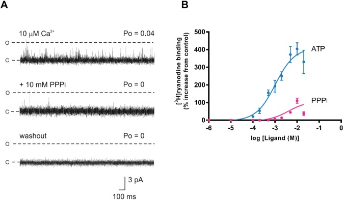 Irreversible RyR2 inactivation by PPPi. ( A ) The top trace shows a typical single RyR2 channel activated by 10 μM cytosolic Ca 2+ alone. The subsequent trace shows an example of the inactivating effects of 10 mM PPPi. Occasional, very brief openings were observed initially as shown in the middle trace but after 140 s no further openings were detected. The bottom trace shows that after perfusing away the PPPi from the cytosolic chamber, the channel remains shut (no openings during the 3 min recording period). The holding potential was 0 mV. O and C represent the open and closed channel levels respectively. ( B ) Comparison of the stimulation of [ 3 H]ryanodine binding to vesicles of sheep cardiac heavy SR by ATP (blue) and PPPi (pink). The results are expressed as a percentage of the control binding at 10 μM cytosolic Ca 2+ which was 0.18 ± 0.02 pmol [ 3 H]/mg protein (SEM; n = 10). Where not shown, error bars are within the symbol. The optimum stimulation of [ 3 H]ryanodine binding was significantly greater for ATP than for PPPi (**p