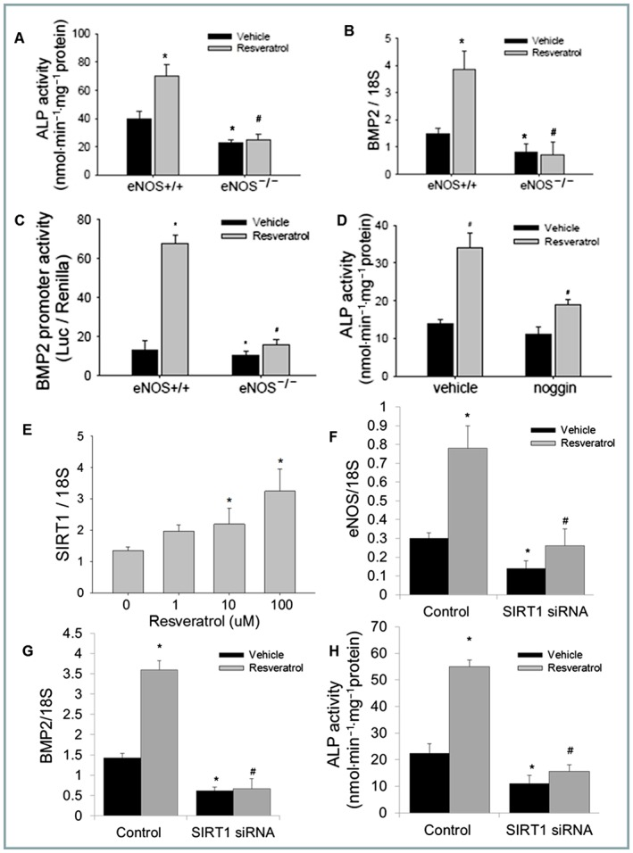 The eNOS‐SIRT1 axis is necessary for the pro‐osteogenic effects of RSV. Different effects on ALP levels (A) BMP2 gene expression (qPCR, B) and promoter activity (C) in primary osteoblasts from eNOS knockout ( −/− ) or wild‐type ( +/+ ) control mice ( n = 5) treated with RSV (5 μM) or vehicle (24 h). RSV‐induced ALP levels (5 μM) in the presence of the BMP inhibitor noggin (500 ng·mL −1 , 48 h, n = 5), normalized to total protein (D). SIRT1 gene expression in 2T3 osteoblasts following RSV (1–100 μM) treatment, quantified by real time PCR (E), along with eNOS (F) and BMP2 (G) mRNA levels transfected with SIRT1 siRNA or scramble control ( n = 5) with and without RSV treatment (5 μM). RSV‐induced ALP levels (5 μM) in the presence of SIRT1 (or scrambled control) siRNA (H) ( n = 5) (* P