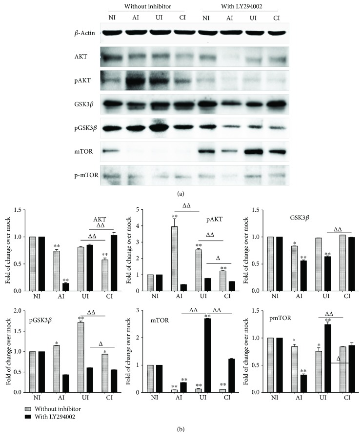 Impact of PI3K/Akt/GSK3 β /mTOR signaling in U937 cells in response to H37Rv infection. In the presence or absence of PI3K inhibitor LY294002, the coculture model of A549/U937 cells was infected with H37Rv mycobacteria from the upper chamber (A549 cells, AI), lower chamber (U937 cells, UI), or both chambers (A549 and U937 cells, CI) at a MOI of 3 for 18 h before the culture medium and U937 cells were harvested for analysis. (a) Representative blots of immunoblotting assay for the indicated components of PI3K/Akt/GSK3 β /mTOR signaling showed an involvement of Akt, GSK3 β , and mTOR signaling in U937 cells of the coinfection model. (b) The fold of changes of proteins of interest in (a) semiquantitatively determined by densitometric assay using ImageJ software Fiji from three independent experiments; the ability of A549 cell-mediated reduction of Akt, GSK3 β , and mTOR signaling activity in U937 cells was lost in the presence of LY294002. Error bars represent the standard deviation (SD) from three independent experiments. Compared to noninfection (NI) control, ∗ p
