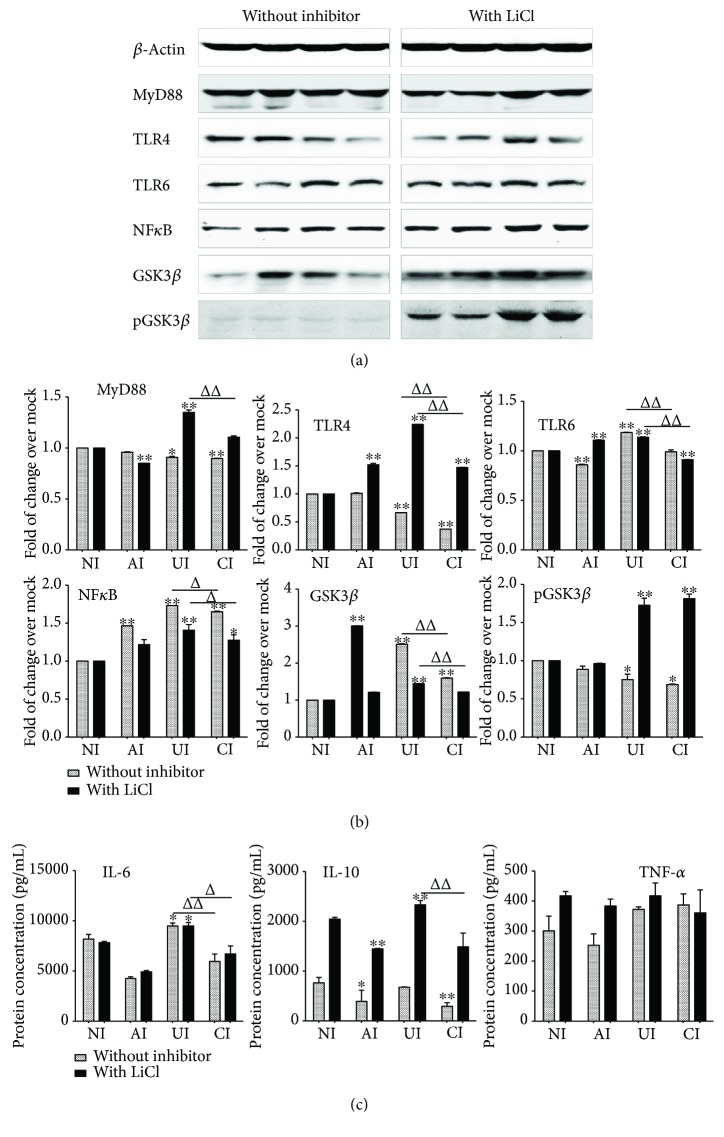 Impact of GSK3 β on the expression of TLR ligands and elements of the TLR signaling pathway in U937 cells to Mtb H37Rv infection in the A549 cell coculture model. In the presence or absence of GSK3 β inhibitor LiCl, the coculture model of A549/U937 cells was infected with H37Rv mycobacteria from the upper chamber (A549 cells, AI), lower chamber (U937 cells, UI), or both chambers (A549 and U937 cells, CI) at a MOI of 3 for 18 h before the culture medium and U937 cells were harvested for analysis. (a) Representative blots of immunoblotting assay for indicated components of TLR signaling cascade showed an activated TLR signaling in U937 cells of the coinfection model in the presence of LiCl, in comparison with the absence of an inhibitor. (b) The fold of changes of proteins of interest in (a) semiquantitatively determined by densitometric assay using ImageJ software Fiji from three independent experiments. (c) Concentrations of TNF- α , IL-10, and IL-6 in culture media determined by ELISA. An augmented cytokine production was observed in the presence of GSK3 β inhibitor LiCl, but the trend of a reduced TLR-mediated inflammatory response was not altered by the addition of LiCl. Error bars represent the standard deviation (SD) from three independent experiments. Compared to noninfection (NI) control, ∗ p