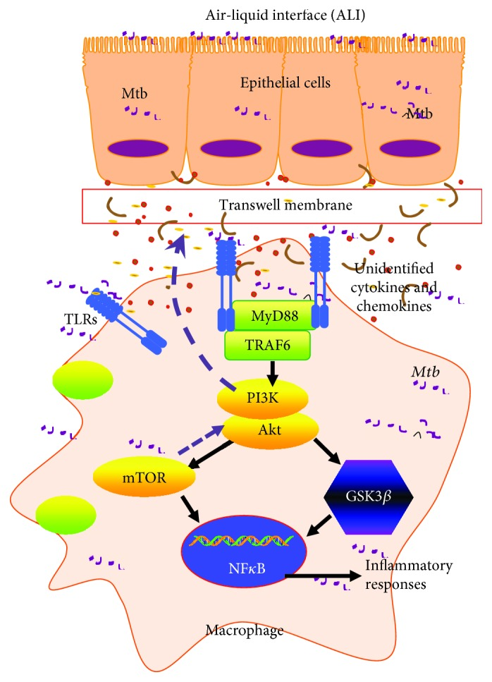 Scheme showing a possible mechanism of the alleviated TLR-mediated inflammatory responses of macrophage U937 cells to the mycobacterial infection by coinfected A549 epithelial cells. In a coinfected condition, the undefined signaling from H37Rv mycobacteria-infected epithelial cells could reduce TLR-mediated inflammation of macrophages via the PI3K/Akt/mTOR signaling axis, but not the PI3K/Akt/GSK3 β pathway. Upon a coinfection of epithelial cells and macrophages to Mtb , the inflammatory responses in both host cell types were triggered in alveoli. In order to maintain the homeostasis of the alveolar microenvironment, the Mtb infection-induced epithelial cells subsequently alleviated the inflammation of the alveolar environment to secret soluble cytokines or mediators, which in turn inhibited the TLR-mediated inflammatory responses in macrophages to Mtb via the PI3K/Akt/mTOR pathway.