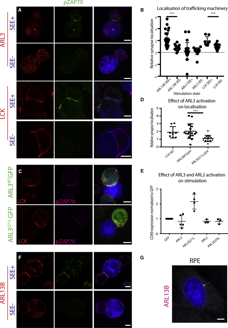 ARL3-Specific Release Localizes LCK to the Immune Synapse (A and F) T:B cell conjugates stained with anti ARL3, LCK, or ARL13B antibodies as indicated in the presence or absence of SEE. (B) LR of ARL3, ARL13B, and LCK of conjugates from (A) and (F): ARL3 shows no localization to the synapse in the presence (LR = 0.3) or absence of SEE (n = 38). LCK shows LR = 1.9 in the presence of SEE and 0.7 in its absence (n = 42; p ≤ 0.0001). ARL13B shows LR = 2 in the presence of SEE (n = 32) and 0.6 in its absence (n = 16; p ≤ 0.0001). (C) ARL3 WT GFP and the constitutively active ARL3 Q71L GFP were nucleofected into cells and T:B cell conjugates, in the presence of SEE, were stained with anti LCK antibodies. (D) LR of LCK of conjugates from (C). ARL3 WT GFP expression had little effect on LR of LCK (n = 18) compared to cells not expressing ARL3 WT GFP (LR = 2). ARL3 Q71L GFP-expressing cells showed LR of LCK = 1 (n = 16, p = 0.0002). Differences in LR were analyzed using the Mann-Whitney U test (B and D). (E) <t>CD69</t> expression was analyzed via flow cytometry for cells stimulated with anti CD28 and CD3 antibodies and overexpressing ARL2-GFP, ARL2 Q70L GFP, ARL3 Q71L GFP, ARL3-GFP, or GFP. ARL3 Q71L GFP (p ≤ 0.0001), ARL3 WT GFP (p = 0.004), ARL2 WT GFP (p = 0.02), and ARL2 Q70L GFP (p = 0.03) p values refer to unpaired t test data. (G) Ciliated RPE cell stained with anti ARL13B antibody. Scale bars, 5 μm.