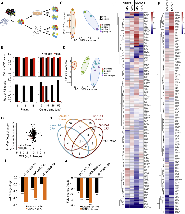 A Combined In Vitro / In Vivo RNAi Screen Identifies CCND2 as Crucial Mediator of RUNX1/ETO Function (A) Scheme of the RNAi screen. t(8;21) cell lines were transduced with the lentiviral shRNA library and propagated with and without shRNA induction by doxycycline either in vitro in three consecutive replatings (12–14 days per plating) and long-term suspension culture for up to 56 days (LTC) or in vivo by xenotransplantation of immunodeficient mice killed upon reaching clinical endpoints. (B) Changes in relative (Rel.) sequencing read levels of proviral non-targeting control shRNA (shNTC) and RUNX1/ETO shRNA (shRE). (C) PCA of shRNA pools in Kasumi-1 colony formation assay (CFA) cells during replating. PC, principal component. (D) PCA of shRNA pools from Kasumi-1 transplanted NSG mice. dox, dox treatment initiated immediately after transplantation; dox delayed, doxycycline treatment initiated 28 days after transplantation. (E and F) Clustered heatmaps showing fold changes for genes in the in vitro (E) and the in vivo (F) arms of the RNAi screen. Fold changes were calculated based on collapsed changes of shRNAs using the RRA approach of MAGeCK. (G) Comparison of changes in shRNA construct levels in vivo and after the third replating. (H) Venn diagram identifying depleted shRNA constructs shared between the different RNAi screen conditions. (I and J) Fold change of all CCND2 shRNA constructs after third replatings (I) and in vivo engraftment (J). ∗∗∗ p