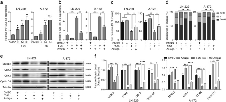 The miR-30e-5p antagomir (Antago) blocked the effects induced by T-96 in glioma cells. a Quantity real-time PCR (qRT-PCR) assays were performed to evaluate the expression of miR-30e-5p after treatment of LN-229 and A-172 cells with DMSO or 10 μM T-96 for the indicated time. b The expression of miR-30e-5p after T-96 treatment or T-96 and the miR-30e-5p antagomir treatment for 2 days. DMSO was used as the control. c LN-229 and A-172 cells were treated with DMSO, 10 μM T-96, the miR-30e-5p antagomir, or T-96 and the miR-30e-5p antagomir for 2 days, and the cell viability was evaluated with MTT assays. d LN-229 and A-172 cells were treated with DMSO, the miR-30e-5p antagomir, 10 μM T-96 or T-96 and the miR-30e-5p antagomir for 2 days, and cell cycle was analysed via flow cytometry. e Western blot assays were used to detect the expression of MYBL2, CDK4, CDK6 and cyclin D1 after treatment with DMSO, the miR-30e-5p antagomir, 10 μM T-96, or T-96 and the miR-30e-5p antagomir for 2 days. f Densitometry of Western blot in the panel e . All data were analysed using unpaired Student's t-tests and are shown as the means ± SD. * p