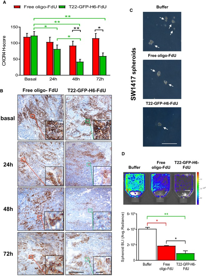 T22‐ GFP ‐H6‐FdU‐induced depletion of CXCR 4‐overexpressing cancer cells in tumor tissue leading to reduced spheroid formation capacity T22‐GFP‐H6‐FdU depletes CXCR4 + cancer cells from SW1417 CRC tumor tissue after a 100 μg single‐dose administration. Note the reduction in CXCR4 + cell fraction in the tumor 24 h after injection, their almost complete elimination at 48 h, and the re‐emergence of CXCR4 + cells 72 h post‐administration, using anti‐CXCR4 IHC. In contrast, the CXCR4 + cancer cell fraction (CXCR4 + CCF) in tumor tissue remains constant along time after free oligo‐FdU treatment. The 3‐day time‐lapse for CXCR4 + tumor cell re‐appearance defines the dosage interval used in a repeated dose schedule of nanoconjugate administration in the experiments to evaluate its antimetastatic effect ( N = 5: 5 mice/group; 1 samples/mouse). Scale bar, 50 μm. Data expressed as mean ± s.e.m. CXCR4 H‐score comparison for T22‐GFP‐H6‐FdU(T‐F)‐treated tumors among time points (green line, panel A). P ‐values for statistical differences: T‐F Basal vs. T‐F 24 h, * P = 0.038; T‐F Basal vs. T‐F 48 h, ** P = 0.001; T‐F Basal vs. T‐F 72 h, ** P = 0.003; T‐F 24 h vs. T‐F 48 h, * P = 0.033. CXCR4 H‐score comparison between T22‐GFP‐H6‐FdU (T‐F) and free oligo‐FdU (F) (black line, panel A). P ‐values for statistical differences: T‐F vs. F at 48 h, ** P = 0.001; T‐F vs. F at 72 h, * P = 0.034). Mann–Whitney U ‐test. Significant reduction in the number of spheroid formed (C, optical microscope) and their bioluminescence emission (D, IVIS Spectrum 200), generated by 1 × 10 6 disaggregated cells (cultured in stem cell‐conditioned media and low‐adhesion plates), obtained from CXCR4 + luciferase + SW1417 subcutaneous tumors, 24 h after 100 μg T22‐GFP‐H6‐FdU intravenous doses, for 2 consecutive days, as compared to Buffer‐treated or free oligo‐FdU‐treated mice. (D) Quantitation of the bioluminescent signal (BLI) expressed as average radiant intensity, obtained using the IVIS spectrum 200 equipme