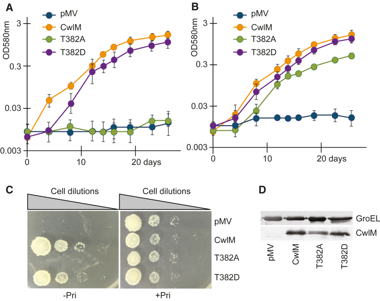 T382A Mutant Mimics Phenotype of PknB-Depleted M. tuberculosis (A–D) The cwlM conditional mutant of M. tuberculosis was transformed with pMV306 plasmids containing cwlM variants. The resultant strains were grown in 7H9 medium (A) or in SMM (B) without pristinamycin. All of the strains grew similarly when 7H9 or SMM were supplemented with pristinamycin (data not shown for clarity). pMV, cwlM -CM pmv306 (the empty plasmid control); CwlM, cwlM -CM WT ; T382A and T382D phosphoablative and phosphomimetic mutants, respectively. Data are represented as means ± SEMs (n = 6). (C) Growth of strains on 7H10 agar. (D) Western blot of CwlM variants detected with anti-CwlM antibody. See also Figures S2 and S3 and Table S3 .