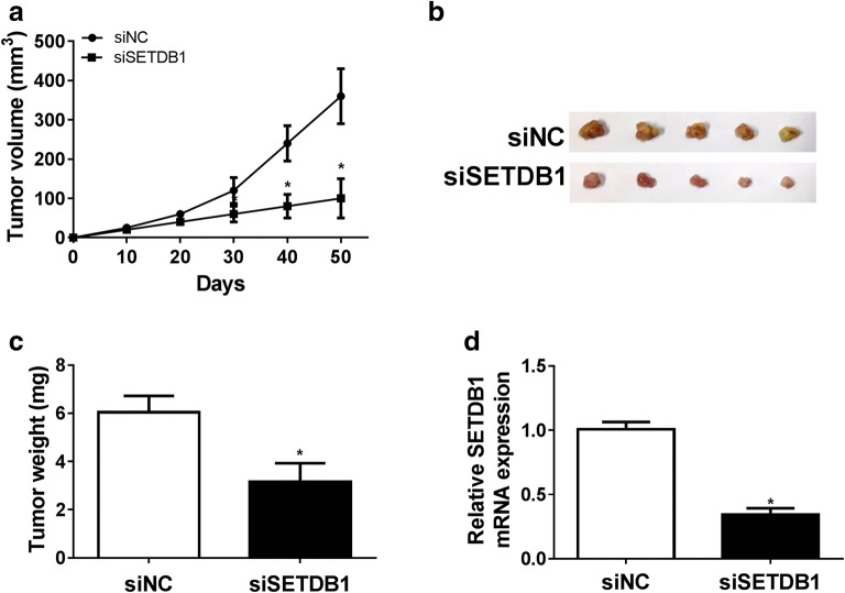SETDB1 depletion repressed tumor growth in vivo. Nude mice were subcutaneously injected with 1.0 × 10 6 MCF-7 cells transfected with siNC or siSETDB1. 50 days later, mice were killed and tumor masses were removed. a Tumor volume was mearsured by a caliper every 10 days. b Bright-field imaging of the xenograft tumors. c The average weight of the xenograft tumors. d qRT-PCR assay of SETDB1 mRNA expression in removed tumor tissues. * P