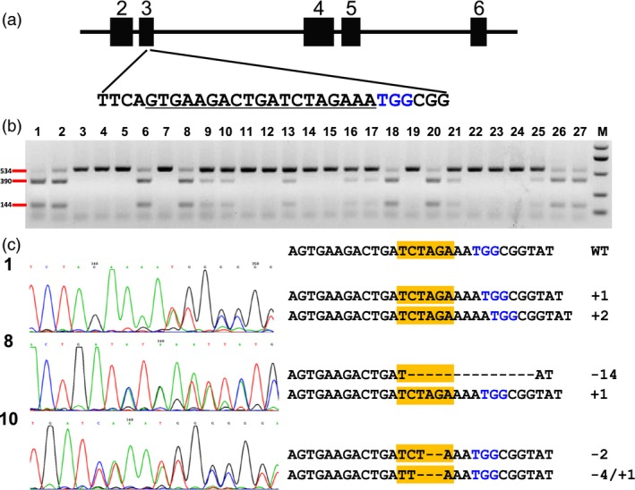 Identification of mutations in the zyp1 gene by RFLP assay and Sanger sequencing. (a) Schematic illustration of the target site in the zyp1 gene. Black box indicates exons, while the lines between them represent introns. Underlined sequence was selected for targeting; nucleotides marked in blue represent PAM . (b) RFLP assay of the genomic DNA of transgenic seedlings. Lane 1, control (wild‐type DNA amplicons digested with Xba I). Lane 2–27, 26 random selected transgenic seedlings. M, DNA marker. Primer pair zyp1‐F/zyp1‐R was used for PCR amplification, Xba I was used for digestion. (c) Sanger sequencing results of three seedlings. Left shows sequencing chromatograph, and right shows the edited sequences at the target site. Nucleotides marked in blue represent PAM . The yellow box indicates the Xba I site.