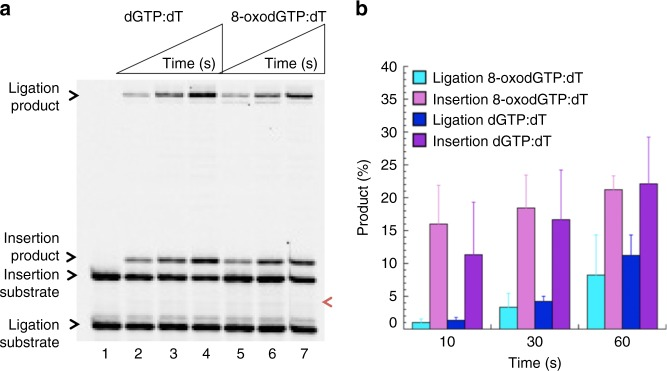 Pol µ dGMP and 8-oxodGMP insertion coupled with ligation. a Lane 1 is the minus enzyme control for the single-nucleotide gapped DNA substrate with template base T. Lanes 2–4 and 5–7 are the reaction products in the presence of dGTP and <t>8-oxodGTP,</t> respectively, and correspond to time points of 10, 30, and 60 s. The position of 5′-adenylate product is indicated as magenta arrow. b Graph shows time-dependent changes in the products of insertion (pink and purple for 8-oxodGTP and dGTP insertions, respectively) and ligation (cyan and blue for ligation following insertion of 8-oxodGTP and dGTP, respectively). The data represent the average of four independent experiments ± SD. Corresponding uncropped gel image and presentation of the data in line graph format are shown in Supplementary Fig. 2