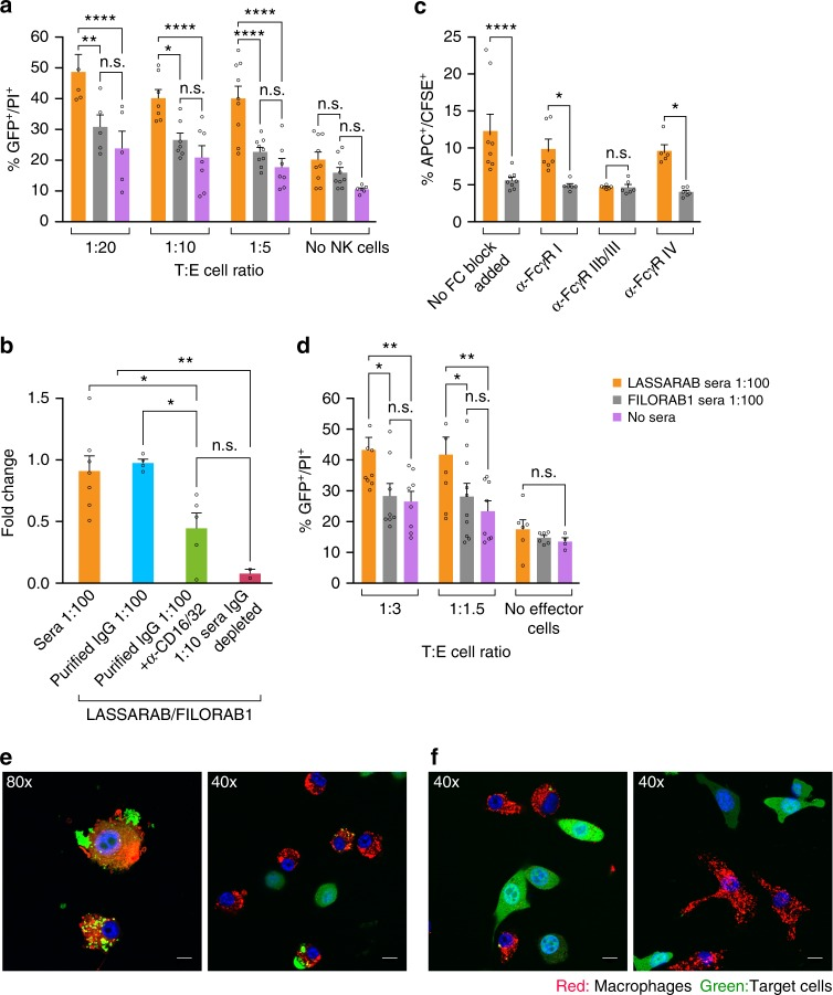 Evaluation of antibody effector cell functions mediated by murine NK and macrophage cells against 3T3 expressing LASV GPC. Day 42 sera from immunized mice was incubated with 3T3-LASV cells and 30 min either murine NK or macrophage cells were added and results were analyzed 4 h later by either flow cytometry (Supplementary Fig. 3 and a – d ) or confocal microscopy ( e ). Purified murine C57BL/6 NK cells ( a ) or IC-21 macrophages ( d ) were added at different Target:Effector cell ratios (T:E) with target cells incubated with either LASSARAB sera (yellow), FILORAB1 sera (gray) or no sera (pink). The Y -axis represents the percentage of cellular cytotoxicity based on GFP + /PI + cells (gating strategy and flow plots in Supplementary Fig. 3 ). b To determine which antibody isotype class is important for ADCC, NK cells were added at 1:5 T:E and incubated with either unprocessed sera (sera 1:100 condition), purified IgG (20 μg/ml), or IgG impoverished sera (1:5 dilution) from LASSARAB and FILORAB1 immunized mice. The Y axis represents cytotoxicity fold change of LASSARAB sera or IgG compared to FILORAB1 sera or IgG with same respective conditions. Anti-CD16/32 (Fcγ-RII/III) was also added at 25 μg/ml to confirm that FcγR blockade reduces ADCC activity. c , e , f To analyze ADCP J774.A1 macrophages were added at 1:5T:E or 1:1T:E (confocal) to 3T3-LASV cells incubated with either LASSARAB sera ( c , e ) or FILORAB1 sera ( c , f ). In c anti-CD16.2 (Fcγ-RIV), anti-CD16/32 (Fcγ-RII/III), and anti-CD64 (Fcγ-RI) were added at 25 μg/ml to check the effect of different FcγR blockade on ADCP activity. All error bars are the SEM of at least three independent experiments executed with duplicates. All statistical significance represented was performed through either a one- or two-way ANOVA and using a post-hoc analysis Tukey Honest Significant Difference test. (**** P
