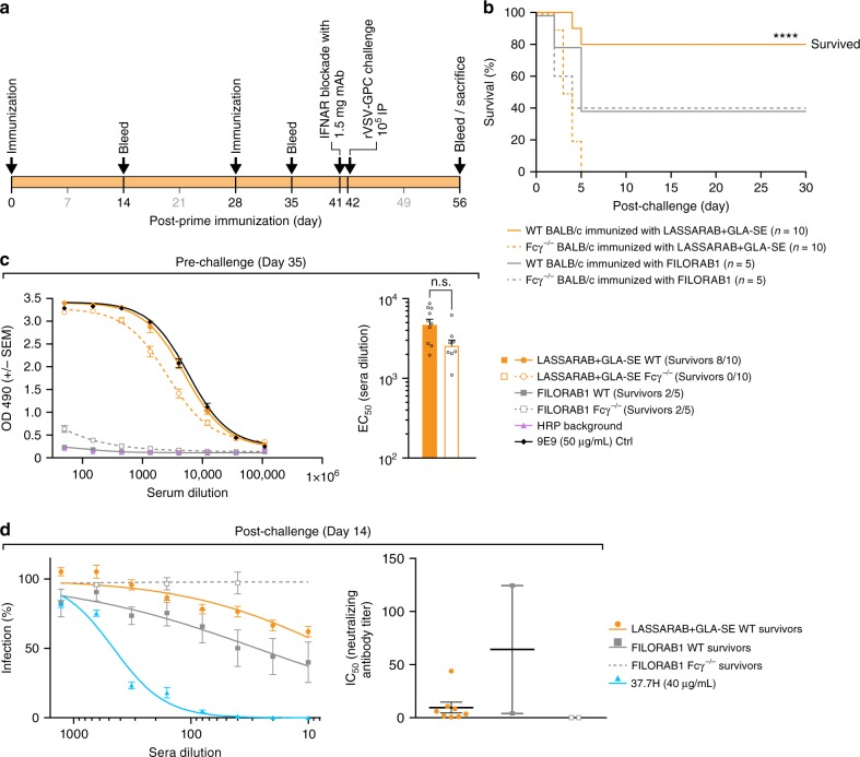 Evaluation of in vivo relevance of non-NAbs LASV GPC specific antibodies induced by LASSARAB + GLA-SE vaccination. a 8- to 10-week-old Balb/c (WT) or Balb/c with Fcγ chain KO (Fcγ −/− ) female mice were immunized with 10 µg of inactivated particles of either LASSARAB or FILORAB1 (mock control) on day 0 and boosted on day 28. All four groups in total were adjuvanted with 5 µg of GLA in a 2% SE with each vaccination. One day before exposure (day 41) animals were injected with 1.25 mg of anti-Ifnar mAb (MAR1-5A3, Leinco technologies) through intra-peritoneal injection (IP). On day 42, mice were exposed to 10 4 rVSV-GPC virus IP and general health (weights and clinical observation) was recorded until endpoint criteria were reached or end of study (supplemental). b Survival curves post-exposure of rVSV-GPC. Significance is compared between the WT LASSARAB vaccinated and the Fcγ −/− vaccinated using the log-rank (Mantel–Cox) test. c Pre-exposure total IgG titers anti LASV GPC were measured by ELISA on day 35 post-prime and ELISA curves were plotted according to OD490 reading value ( Y -axis) and serum dilution ( X -axis). On the right, EC 50 (half maximal effective concentration) of serum dilution of both LASSARAB groups (WT and Fcγ −/− ) is plotted on Y -axis on a log scale; statistical significance was calculated using one-way ANOVA. d Virus neutralization assay using pseudotyped VSV-GFP-NanoLuc with LASV GPC. On the right, percentage of cells infected is plotted against the serum dilution (survivors on day 14 post-exposure) of each respective group. On the right, the IC 50 (half maximal inhibitory concentration) of serum dilution is plotted individually and significance was calculated using one-way ANOVA. Error bars represent Standard Error Mean (SEM) and include all mice ( n = 10 per group [WT and KO] in LASSARAB and n = 5 per group [WT and KO] in FILORAB1 control) in pre-challenge and survivor mice in post-challenge. (**** P