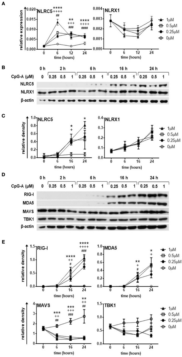The expression of NLRC5, RIG-I and MDA5 but not that of NLRX1 is upregulated by CpG-A treatment in the human GEN2.2 pDC cell line. (A–E) GEN2.2 cells were treated with increasing concentration of CpG-A (0.25–1 μM) in a time dependent manner. The expression of NLRC5 and NLRX1 was measured at the mRNA level by Q-PCR (A) and at the protein level by western blotting (B,C) . The changes in protein levels of RIG-I, MDA5, MAVS, and TBK1 were also analyzed after CpG-A treatments by western blotting (D,E) . Representative blots are shown in (B,D) . Data are shown as mean ± SD from 4 to 6 independent experiments in panels (A,C,E) . Data were analyzed using one-way ANOVA followed by Bonferroni's post-hoc test. * p