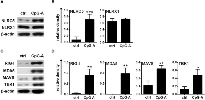 The expression of NLRC5, RIG-I, and MDA5 is inducible in primary human pDCs after CpG-A treatments. (A–D) Freshly isolated primary human pDCs were stimulated with 2.5 μM CpG-A for 16 h, thereafter the protein levels of NLRC5, NLRX1, RIG-I, MDA5, MAVS, and TBK1 were detected by western blotting. Representative blots are shown in (A,C) . Data are shown as mean ± SD from 3 to 4 experiments in panels (B,D) . (B,D) Statistical comparisons were performed using Student's t -test. * p