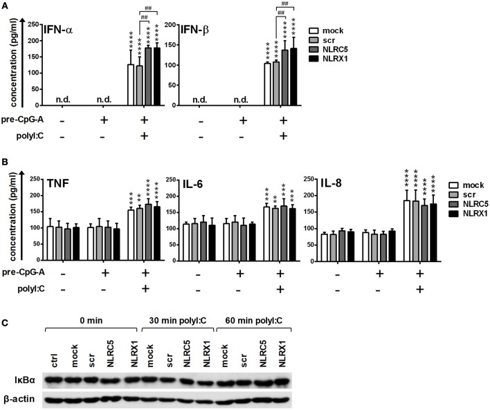 The RIG-I/MDA5 agonist-induced type I IFN production is upregulated by NLRC5 or NLRX1 silencing while the NF-κB signaling pathway is not affected in GEN2.2 cells. (A–C) Cells were transfected with siRNAs specific for NLRC5, NLRX1 or scrambled (scr) siRNAs for 24 h then pre-treated with 0.25 μM CpG-A (pre-CpG-A) for 16 h to induce the cytosolic expression of RLRs. Following thorough washing steps cells were stimulated with the RIG-I/MDA5 agonist polyI:C (1 μg/ml). The protein levels of IFN-α, IFN-β ( A ), TNF, IL-6, and IL-8 (B) were measured by ELISA after 6 (A) or 24 h (B) . (C) Kinetics of IκBα degradation was determined by western blotting. (C) A representative blot is shown. Data are represented as means ± SD of 4 individual experiments and analyzed using one-way ANOVA followed by Bonferroni's post-hoc test. ** p