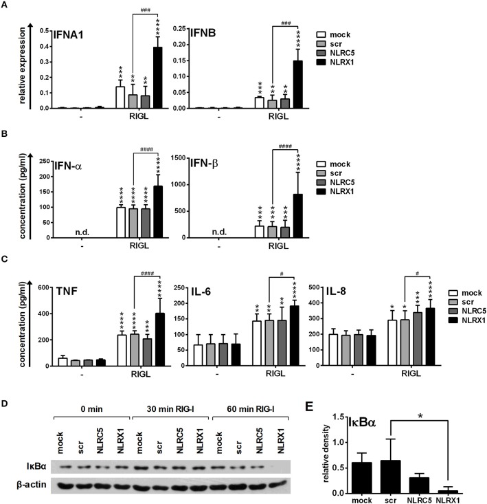 NLRX1 but not NLRC5 affects the specific RIG-I agonist-induced type I IFN and pro-inflammatory responses in human moDCs. (A–E) moDCs transfected with the indicated siRNAs were stimulated with the RIG-I ligand 5′ppp-dsRNA (RIGL, 1 μg/ml). The mRNA expression levels of IFNA1 and IFNB were assessed by real-time PCR after 12 h (A) and IFN-α, IFN-β (B) , TNF, IL-6, and IL-8 (C ) protein levels were measured by ELISA after 24 h. (D,E) Kinetics of IκBα degradation was determined by western blotting. (D) A representative blot is shown. (E) Bar graphs show the relative density of IκBα measured at 60 min of stimulation. (A-C, E) Data are shown as mean ± SD from 4 independent experiments and analyzed using one-way ANOVA followed by Bonferroni's post-hoc test. * p