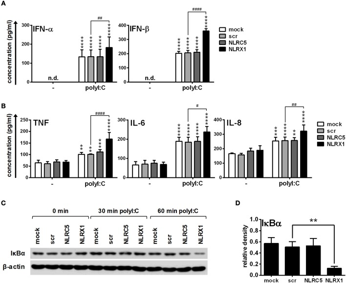 NLRX1 but not NLRC5 controls the RIG-I/MDA5 agonist-induced type I IFN and pro-inflammatory responses in human moDCs. (A–D) moDCs transfected with the indicated siRNAs were stimulated with the RIG-I/MDA5 ligand polyI:C (1 μg/ml). The protein levels of IFN-α, IFN-β (A) , TNF, IL-6, and IL-8 (B) were detected by ELISA after 24 h. (C,D) Kinetics of IκBα degradation was determined by western blotting. (C) A representative blot is shown. (D) Bar graphs show the relative density of IκBα measured at 60 min of stimulation. (A,B,D) Data are shown as mean ± SD from 4 independent experiments and analyzed using one-way ANOVA followed by Bonferroni's post-hoc test. ** p