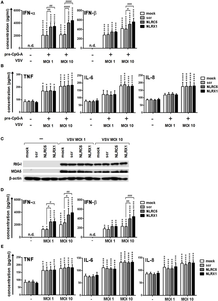 Depletion of NLRC5 or NLRX1 enhances the type I IFN production of GEN2.2 cells but does not influence the NF-κB pathway activity in response to VSV infection. (A–E) Cells were transfected with siRNAs specific for NLRC5, NLRX1 or scrambled (scr) siRNAs for 24 h. (A,B) After silencing cells were pre-treated with 0.25 μM CpG-A (pre-CpG-A) for 16 h to induce the cytosolic expression of RLRs. Following thorough washing steps cells were infected with VSV at the indicated MOIs. The protein levels of IFN-α, IFN-β (A) , TNF, IL-6, and IL-8 (B) were measured by ELISA after 18 h. (C–E) After silencing GEN2.2 cells were exposed to VSV at the indicated MOIs without CpG-A pre-treatment and the protein levels of RIG-I and MDA5 were detected by western blot at 24 h (C) . Concentrations of IFN-α, IFN-β (D) , TNF, IL-6, and IL-8 (E) were measured by ELISA from the supernatant of the VSV-infected cells. (C) A representative blot is shown. Data are represented as means ± SD of 4 individual experiments and analyzed using one-way ANOVA followed by Bonferroni's post-hoc test. * p