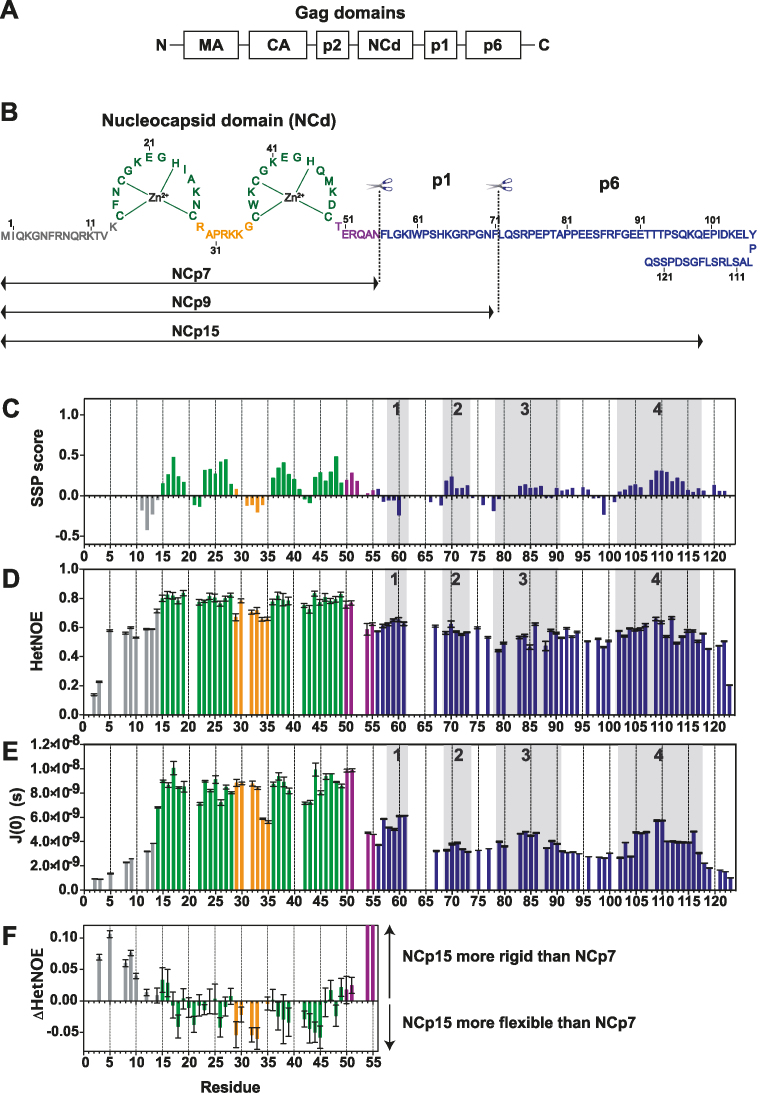 Structural and dynamic characterization of NCp15 from NMR chemical shifts and 15 N relaxation data. ( A ) Schematic of full-length Gag, ( B ) Sequence of the HIV-1 C-terminal domain of Gag (NCp15). The first cleavage by the HIV-1 protease first liberates the NCp15 protein, then NCp9 and finally the mature form of NCd called NCp7. The dashed line represents the two sites of protease cleavage present in NCp15. Residues are coloured in grey for residues in the N-terminal part of NCd, green for those in the zinc knuckles and orange for residues in the linker between the two zinc knuckles of NCd and purple for the C-terminal domain of NCd. Due to a limitation in space, the sequence of p6 is not drawn linearly, but this does not represent a fold back of p6 on itself, ( C ) Secondary structural propensities calculated by the SSP program ( 58 ). C α , C β , CO and H α were used as input data for the calculation of the SSP score. Positive values indicate the amount of α-helical conformation present along the sequence whereas negative values indicate extended or β-strand conformations. ( D ) 15 N–{ 1 H} NOE (HetNOE) values are indicative of the magnitude of local subnanosecond motions (high values: restricted motions; low values: high-amplitude motions). ( E ) Spectral densities J(0) extracted by spectral density mapping from 15 N relaxation data (T1, T2, HetNOE) of NCp15. J(0) values are indicative of slow overall and segmental tumbling motions present in NCp15. The boxes in grey indicated the four regions of p1–p6 domains showing significant secondary structure propensities. (F) Differences of HetNOE within the NCd between NCp15 and NCp7 to probe the change in restrictions of motions of the backbone of the precursor and mature forms of the NCd.