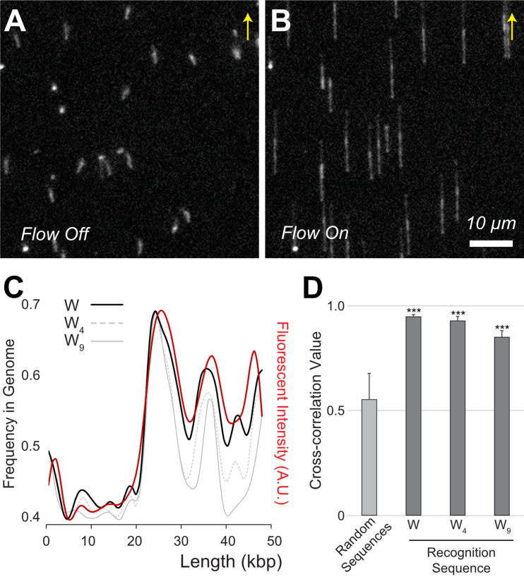 TAMRA-pPy-stained <t>λ</t> DNA tethered on the surface of a flow cell. ( A ) Free-floating λ DNA (48.5 kb) molecules with a mushroom-like conformation in the flow off condition. ( B ) Fully elongated λ DNA molecules with a flow of 100 μl/min. Arrows indicate flow direction. Scale bar 10 μm. ( C ) Comparison of experimentally measured fluorescence intensity (red) with in silico sequence frequencies from the λ genome sequence. The black solid line represents A/T (W), the gray dotted line indicates four consecutive A/T ( W 4 ), and the grey solid line is W 9 . ( D ) Cross-correlation ( cc ) coefficient values calculated from the alignment of 20 molecular images with the genome using three kinds of binding sequences ( W, W 4 and W 9 ). The control cc was obtained from 100 computer-generated random sequences (*** P