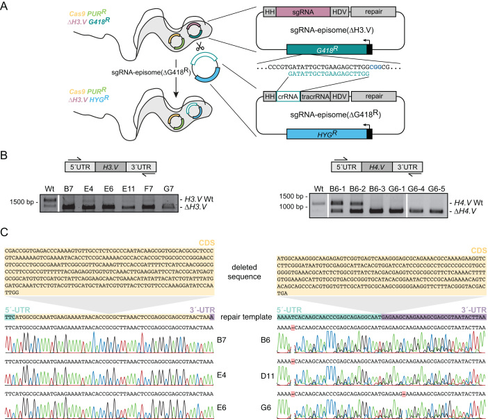 Cas9 allows multiple genome edits. ( A ) Strategy used for the removal of the sgRNA-episome. ( B ) PCR-based analysis of cells sequentially transfected with the Cas9-episome and sgRNA-episome(ΔH3.V) or sgRNA-episome(ΔH4.V). Top panel: outline indicating primer binding sites (half arrows). Bottom panel: agarose gel revealing presence or absence of H3.V (left) or H4.V (right). Homozygous deletions of H4.V were only observed after the culture had been diluted a second time. ( C ) Sanger sequencing demonstrated that all editing events exactly matched the repair template. The deleted CDSs of H3.V and H4.V are represented on top and highlighted in orange. The repair templates are shown in the middle (5′-UTR in green, 5′-end of the H3.V CDS in orange and 3′-UTR in purple. The sequencing chromatograms are depicted at the bottom.