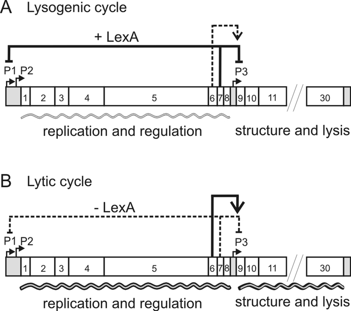 Regulation of the lytic/lysogenic switch in the Bacillus thuringiensis temperate phage GIL01. The figure shows the genetic map of GIL01, highlighting key genes and regulatory sites. ( A ) Maintenance of the GIL01 lysogenic state. Host LexA protein, in conjunction with the product of ORF7, gp7, represses the expression of phage functions directed from the P1, P2 and P3 promoters to maintain lysogeny. ( B ) The lytic cycle. Upon persistent DNA damage, LexA undergoes auto-cleavage and its cellular concentration drops below a threshold level, which results in derepression of P1 and P2 , and high-level expression of the replication and regulatory genes to initiate the lytic cycle. Substantial intracellular accumulation of gp6 protein activates transcription from P3 , (located between ORF8 and ORF9), resulting in the expression of the downstream phage structural and lysis genes and eventual host cell lysis and death.