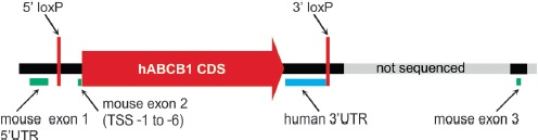 Depiction of the humanized <t>Abcb1a</t> gene locus. Shown are the sequenced region (6089 bp, black) and the downstream adjacent mouse sequence not included in the sequencing (light grey). The human <t>ABCB1</t> CDS was fused into the TSS, which left the untranslated base pairs TSS -1 to -6 of exon 2 behind (green). ABCB1 CDS has been introduced with its 3′UTR and additional 45 bp of human genomic downstream sequence. At the 3′ transition towards the mouse genomic sequence, a loxP site has been introduced which is flanked by altogether 99 bp of unknown origin. The same is true for the 5′ situated loxP site, which is flanked by additional 37 bp, respectively, and inserted into intron 1 of mouse Abcb1a. The picture is not proportional to the genomic arrangement.