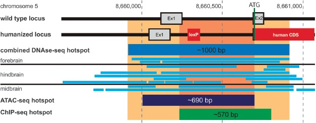 Abcb1a promoter region analysis. Shown are the Abcb1a loci of wild-type and hABCB1 mice in comparison. ENCODE database searches revealed the indicated hotspots of open/accessible chromatin found in mouse brains using DNAse-seq, ATAC-seq, and ChIP-seq methods. The area of highest density of overlapping hotspots (orange/light orange) covers more than 200 bp indicating the importance of this region for Abcb1a gene expression.