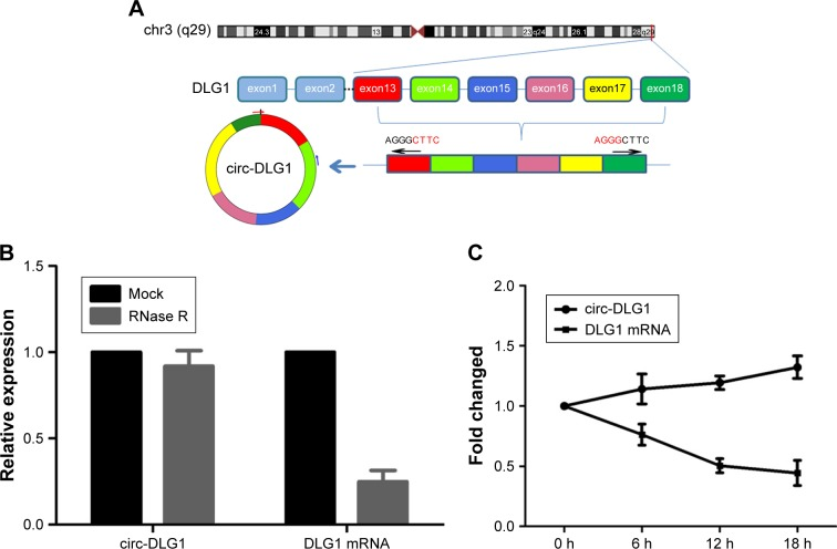 ( A ) Schematics showed that circ-DLG1 was derived from exons 13 to 18 of DLG1. ( B ) qRT-PCR for the abundance of circ-DLG1 and DLG1 mRNA in ESCC cells treated with RNase R. ( C ) qRT-PCR for the abundance of circ-DLG1 and DLG1 mRNA in ESCC cells treated with actinomycin. Abbreviations: ESCC, esophageal squamous cell carcinoma; qRT-PCR, quantitative reverse transcription-polymerase chain reaction.