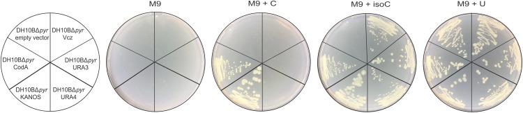 In vivo functionality of E. coli CD (CodA, in pQE70 expression vector) and the DNA fragments that were selected from four metagenomic libraries: KANOS, URA4, URA3, and Vcz (in <t>pUC19</t> vector). Empty pQE70 vector was used as a negative control. Minimal medium (M9) was supplemented 100 mg/L ampicillin, 15 mg/L kanamycin, 0.1 mM IPTG, and either with 20 mg/L cytosine (M9 + C), isocytosine (M9 + isoC) or uracil (M9 + U, positive control).