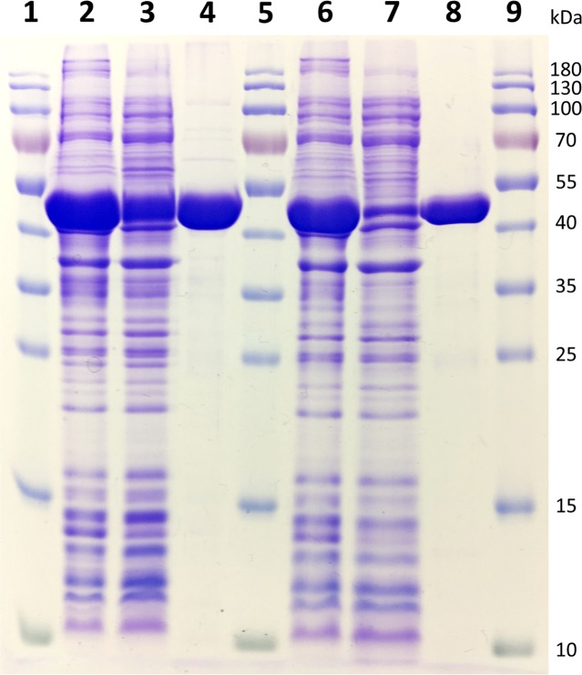 12% SDS–PAGE gel representing the purification of recombinant Vcz and URA3 deaminases. 1, 5, and 9: PageRuler TM Prestained Protein Ladder (Thermo Fisher Scientific); 2: total proteins obtained from induced E. coli BL21(DE-3) bacteria transformed with pET28a-Vcz; 3: soluble protein fraction of E. coli BL21(DE-3) bacteria transformed with pET28a-Vcz; 4: ∼40 μg of recombinant 6xHis-tagged Vcz deaminase; 6: total proteins obtained from induced E. coli BL21(DE-3) bacteria transformed with pET21b-URA3; 7: soluble protein fraction of E. coli BL21(DE-3) bacteria transformed with pET21b-URA3; 4: ∼30 μg of recombinant 6xHis-tagged URA3 deaminase.