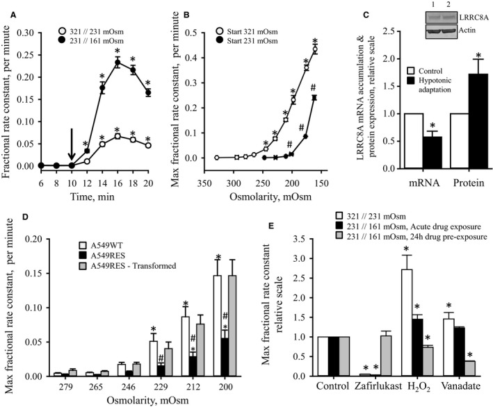 Swelling induced release of taurine and LRRC 8A mRNA /protein expression in A549 cells following repetitive hypoosmotic exposure or exposure to varying degrees of hypoosmotic challenge. Taurine release, mRNA accumulation and protein expression, were measured by tracer technique, qRT ‐ PCR and SDS ‐ PAGE /western blotting, respectively. (A) Fractional rate constants (min −1 ) for [ 3 H]taurine release from cisplatin‐sensitive A549 (A549 WT ) cells, preloaded with [ 3 H]taurine, were determined under isotonic/hypotonic conditions and plotted versus time. One group of cells, preincubated in isotonic growth medium, was exposed for 10 min to isotonic Ringer (321 mOsm) before exposure to hypotonic Ringer (321//231 mOsm) (○, n = 10). Another group, adapted for 24 h in hypotonic growth medium (220–226 mOsm), was exposed for 10 min to hypotonic Ringer with a similar tonicity (231 mOsm) followed by an additional hypotonic challenge (231//161 mOsm Ringer) (●, n = 9). Shift in tonicity is indicated by the arrow. Data represent mean values ± SEM . *indicates statistical increased compared to the prehypotonic values ( P