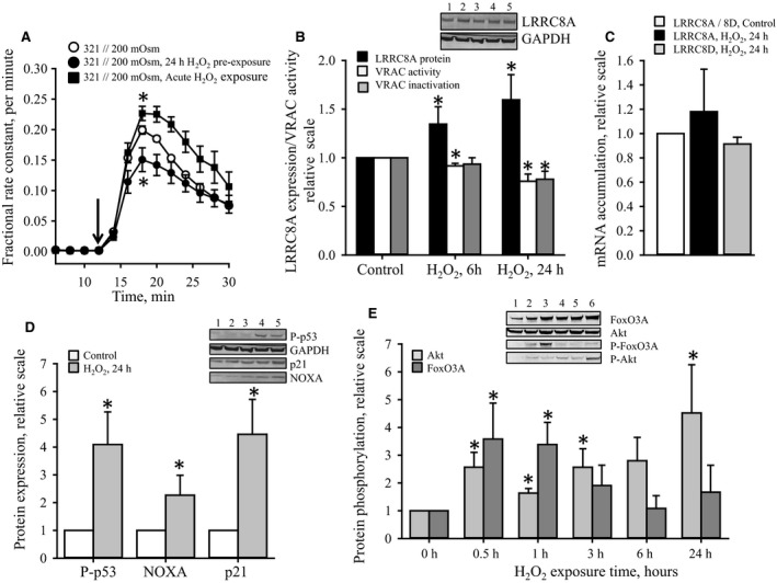 Effect of exogenous H 2 O 2 on LRRC 8A mRNA accumulation, LRRC 8A protein expression, swelling induced taurine release, and intracellular signaling associated with apoptosis and cell growth. Taurine release, mRNA accumulation and protein expression in A549 WT were measured by tracer technique, qRT ‐ PCR and SDS ‐ PAGE /western blotting, respectively. (A) Fractional rate constant (min −1 ) for [ 3 H]taurine release was determined in A549 WT cells under isotonic conditions (321 mOsm) and following reduction in the osmolarity to 200 mOsm (shift in tonicity indicated by the arrow) in the absence (control, open circles) or presence of 100 μ mol L −1 H 2 O 2 (acute exposure, closed squares). Alternatively, cells were preexposed to isotonic growth medium containing 100 μ mol L −1 H 2 O 2 for 24 h prior to the release experiment (closed circles). Rate constants at each time point represent mean values from 7 (Control), 4 (preexposed) and 4 (acute exposure) sets of experiments. *indicates that maximal rate constant, obtained 6 min after hypotonic exposure, was significantly different from control cells ( P