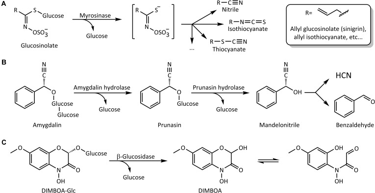 Schematic representation of some reactions catalyzed by plant β-glucosidases. (A) Activation of glucosinolates by myrosinase. (B) Step-wise hydrolysis of the cyanogenic diglucoside amygdalin. (C) Hydrolytic activation of the benzoxazinoid glucoside DIMBOA-Glc and formation of the open-ring aglycone form in solution.
